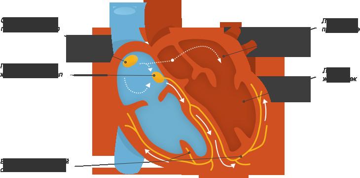 Что такое сердце